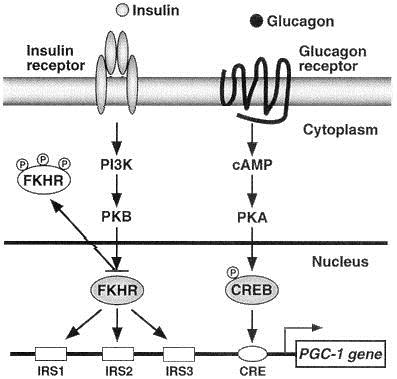 insulin glucagon pathways and PGC1