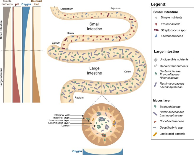 Ecology of gut microbiota